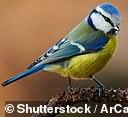 Blue tits are often seen in UK gardens