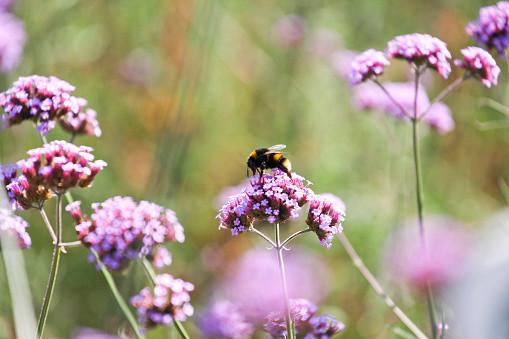 Bumblebee on Purpletop Vervain