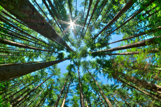 Looking up in a dense pine forest.