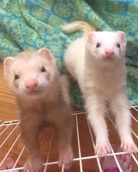 Two ferrets standing on edge of cage