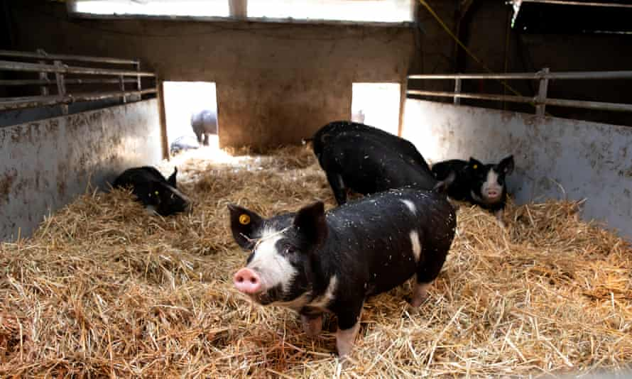 Pigs at Kees Scheepens' farm. 'We now know that a pig is not a thing. It is a sentient being with intelligence,' he says.