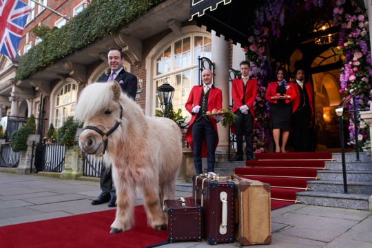 Teddy the Shetland?s Overnight Stay 16 - 31 August at The Goring Hotel, London The Goring, will have a Shetland pony in residence for two weeks this summer. Book in with any pony-mad littl?uns for a stay at the hotel; you?ll have the chance to meet Teddy in person, enjoy a Teddy-themed afternoon tea (carrot cake and polo-mint-infused scones included), and a full English breakfast the next morning. From ?585pn, thegoring.com
