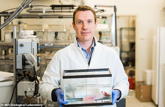 A team of scientists led by James Godwin (pictured) has come a step closer to unraveling the mystery of why salamanders can regenerate while adult mammals cannot with the discovery of differences in molecular signalling that promote regeneration in the axolotl