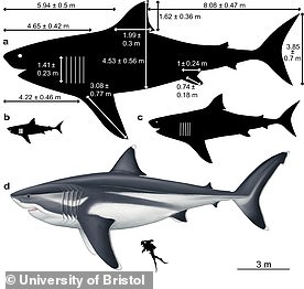 The biggest megalodons would likely have had a head around 15ft long, a 5ft 4in dorsal fin and a 12.6ft tall tail, research suggests