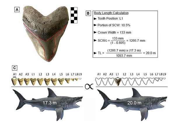 Calculations: Researchers were able to estimate a megalodon's size based on its teeth width