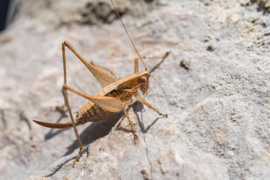 'I spent the evening jumping around in my seat' … a Raymond's Bush-cricket