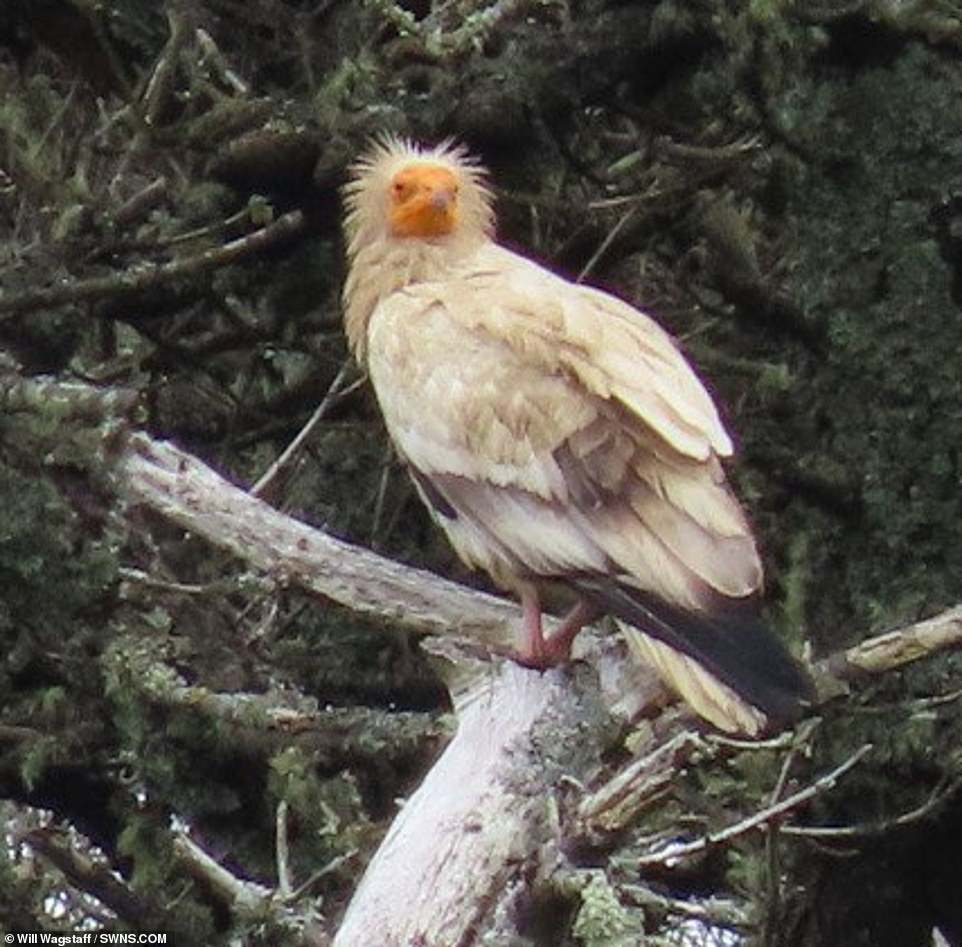 Lost? It is thought the bird (pictured in Tresco) may have come from northern France and became confused while migrating