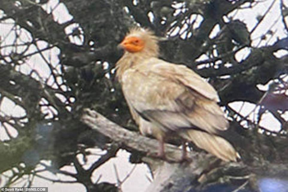 On the Isles of Scilly the Egyptian vulture was first seen at Peninnis Head on St Mary's on Monday before moving on to Tresco