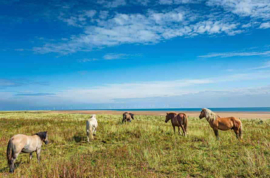 Ponies at Gibraltar Point, Skegness, Lincolnshire, England, UK.