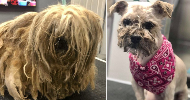 Mopsy before and after