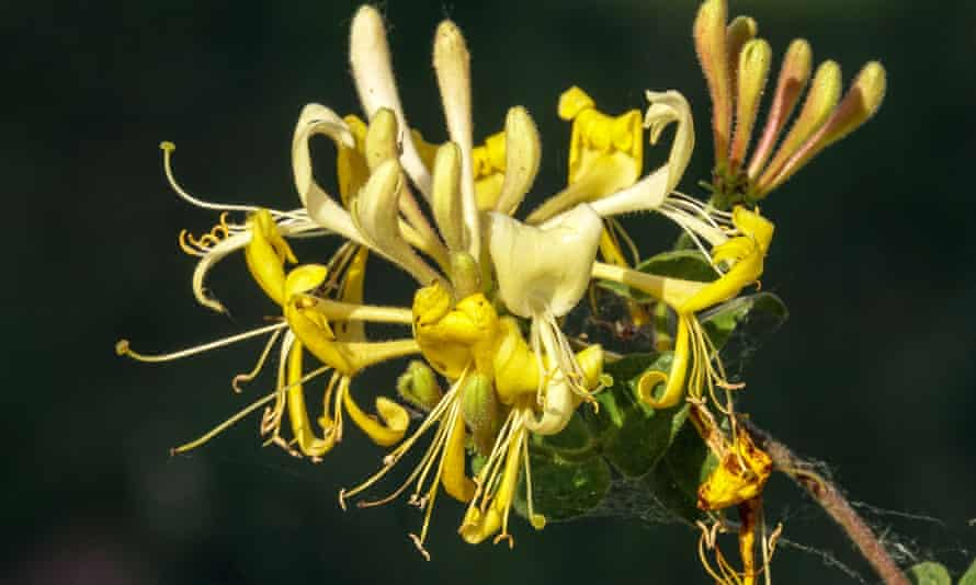 Lonicera periclymenum 'Scentsation' is compact.
