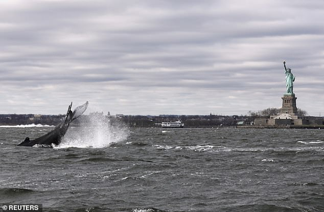 A humpback whale surfaces near the Statue of Liberty in this photo taken from a boat on New York Harbor in December 2020. This was eight years after the recordings were made, so the two aren't linked, but researchers say there has been an increasing number of sightings