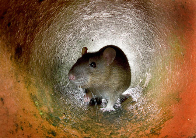 LONDON, UNITED KINGDOM: This undated photo shows a rat in the a pipe in London. Ageing sewers, insufficient garbage collection, a lack of resources to tackle the problem: it all adds up to a growing rat population in London, one of the world's wealthiest capital cities. AFP PHOTO (Photo credit should read /AFP via Getty Images)