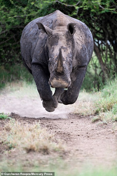 An angry white rhinoceros has been pictured charging down a dirt track in Kenya at a brave photographer who was able to stand his ground and capture rare pictures of the huge endangered animal.