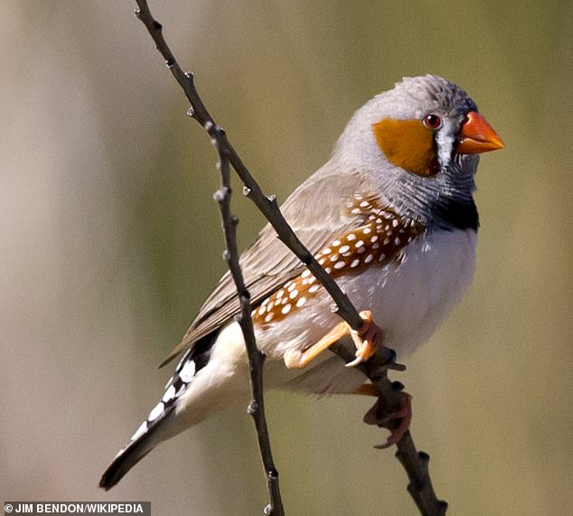 Melodies: Songbirds such as the zebra finch (pictured)can control single vocal muscle fibres, researchers in Denmark have found, providing them with incredible fine control of their tunes