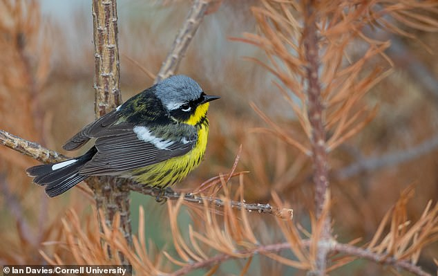 Millions of migrating birds could be saved by cutting light pollution at night in towns and cities worldwide. The Magnolia Warbler (pictured) is a frequent victim of fatal building collisions