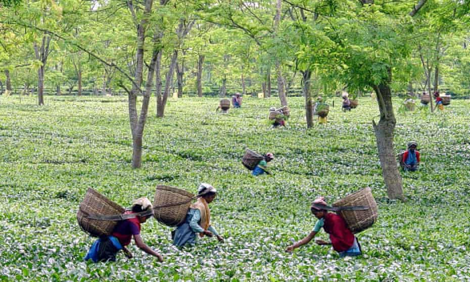 Tea pickers in Assam, India.