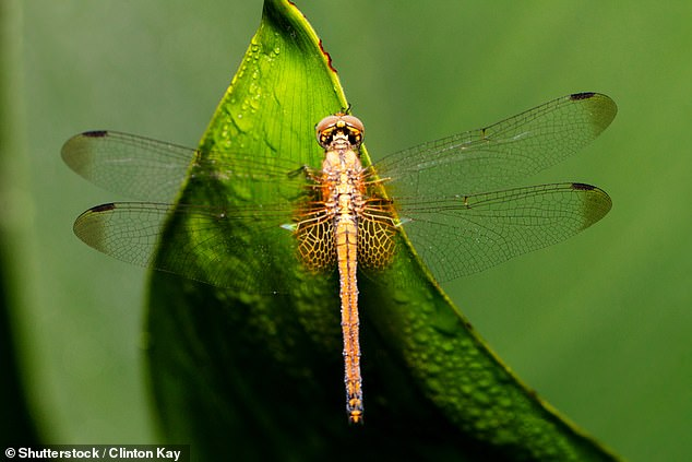 Many species of dragonfly have dark patches on their wings, which they use to attract potential mates and intimidate rivals