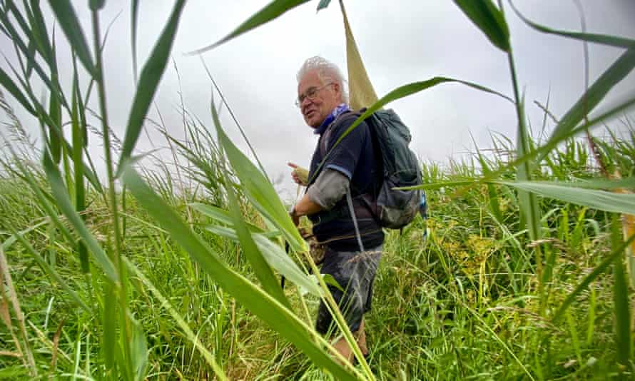 Colin Saunders leads the way through dense Suffolk reed beds. UK