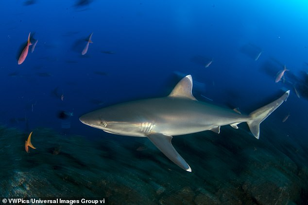It's likely the decline has stemmed from overfishing, as well as a loss of habitat and possibly prey