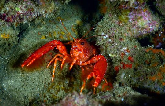 Flaming Reef Lobster.