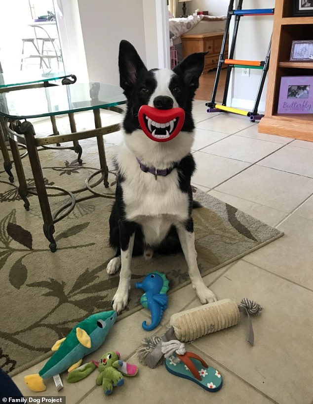 Squall, aBorder Collie owned by Bobbie Kurivial in Florida.American Kennel Club says: 'Dog experts widely agree that the Border Collie is an intelligent workaholic'