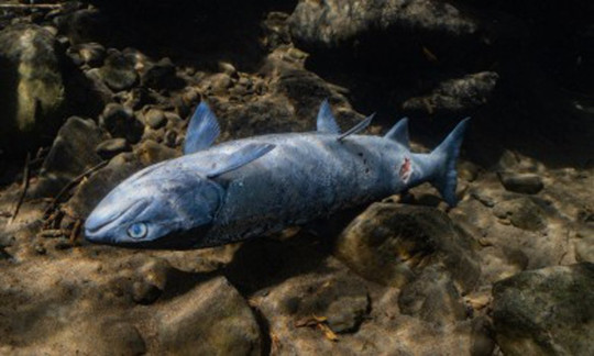 Video shows salmon injured by unlivable water temperatures after heatwave Picture: Conrad Gowell/Columbia River Keeper
