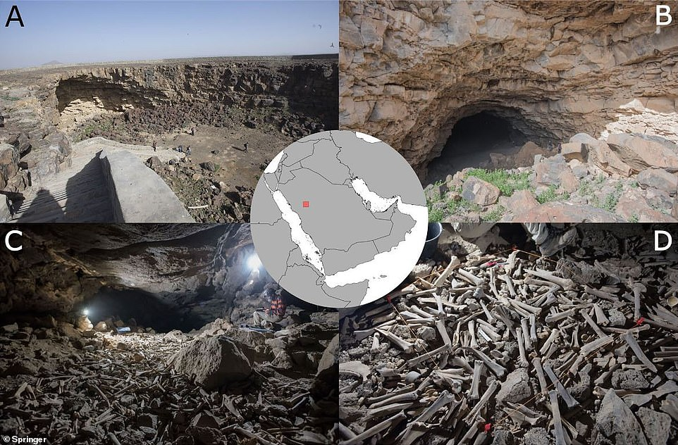 Archaeologists found the massive pile of bones while exploring the lava tube of Umm Jirsan that has been radiocarbon dated to several eras spanning over 7,000 years. Images A and B show the opening of the lava tube. C and D show the trove of bones and the middle image highlights the location of the cave in Saudi Arabia