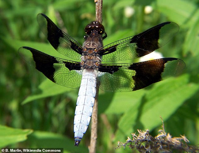 The 'bling' – dark patches on males' wings – is disappearing in response to rising temperatures in an effort to keep the insects cool