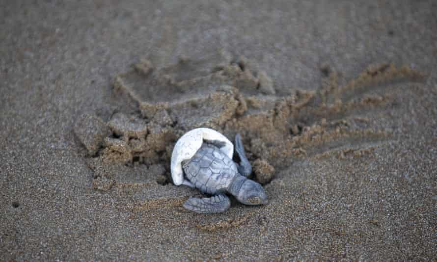 A loggerhead turtle hatchling