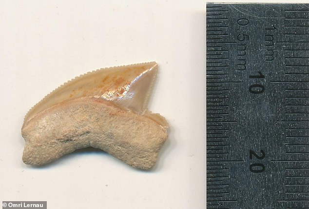 In all, 29 shark teeth, most likely traded as collectors' items 2,900 years ago, were found in theancient house at the City of David.There is no conclusive proof of why the cache was assembled, but it may be that the teeth were part of a collection