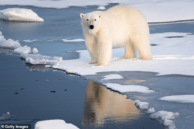 A 'problematic' polar bear that has caused 5 incidents with people may be shot dead the next time it endangers someone.The bear bit the hand of a documentary filmmaker after it stuck its head inside a research station in Greenland in search of food