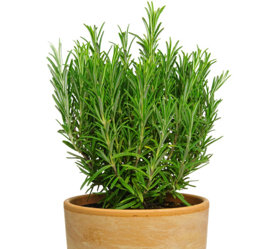 Rosemary in terracotta pot isolated on white background