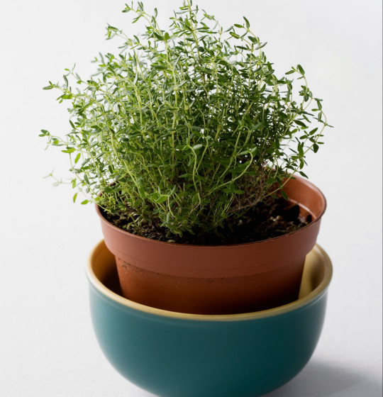 Thyme in a terracotta pot on white background