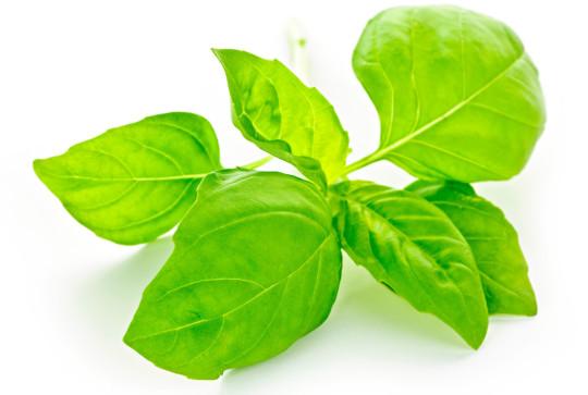 Leaves of basil herb
