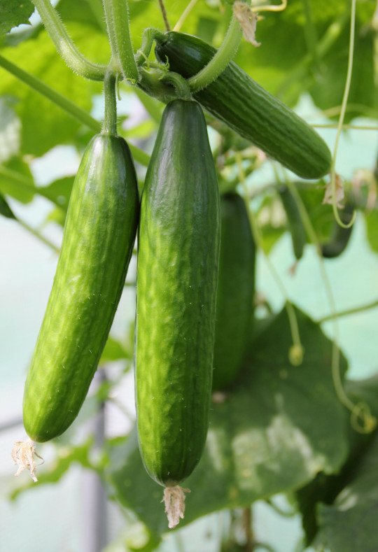 'Mini munch' cucumber plants (cucumis sativas 'miini munch'), growing in a poly tunnel in an English vegetable garden in late summer (August)