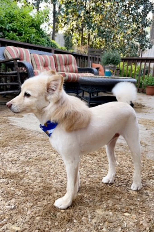 George Washington the dog with his freshly cut mullet