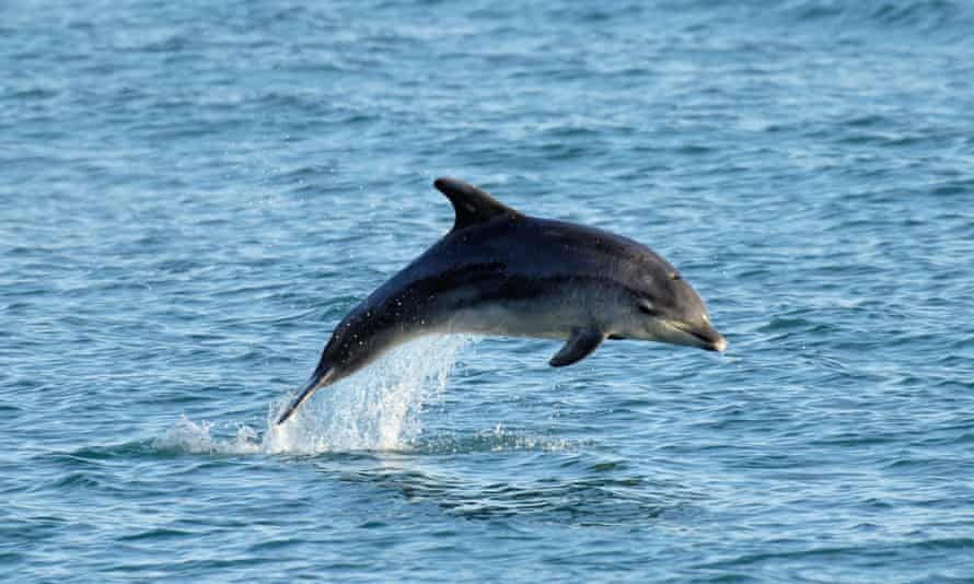 Bottle-nosed dolphin.