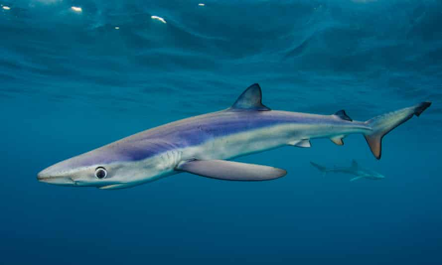 Blue sharks off Penzance, Cornwall.