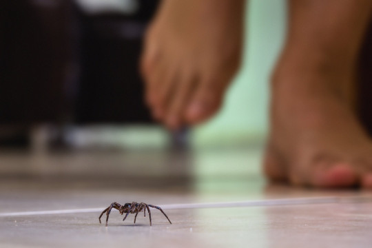 common house spider on a smooth tile floor seen from ground level