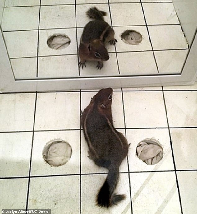 A golden-mantled ground squirrel looks at its reflection in a mirror simulation experiment by UC Davis