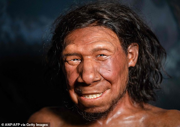 The reconstruction of Krijn, the oldest Neanderthal found in the Netherlands is, on display at the National Museum of Antiquities in Leiden