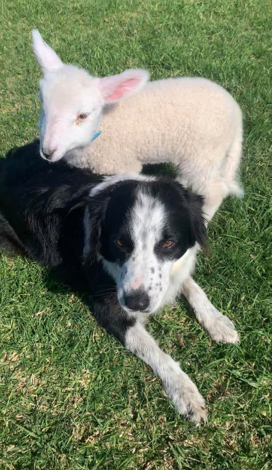 Story from Jam Press (Tiktok Lamb) Pictured: Paxton the lamb with Charlie the sheepdog. Adorable lamb rejected by his own mother moves into farmer's HOUSE ??? even snuggling up with her on the sofa ??? and steals hearts on TikTok. An adorable lamb who was rejected by his own mum has found a surrogate parent in a farmer's daughter ??? even moving into a house with the human. Paxton, who was born on 14 August, has quickly become a TikTok star, racking up 4.9 million views in a clip that has won people's hearts. People are mesmerised by the fluffy lamb although many say he is actually a dog at heart. ???Paxton was born an extremely tiny triplet and rejected by his mother,