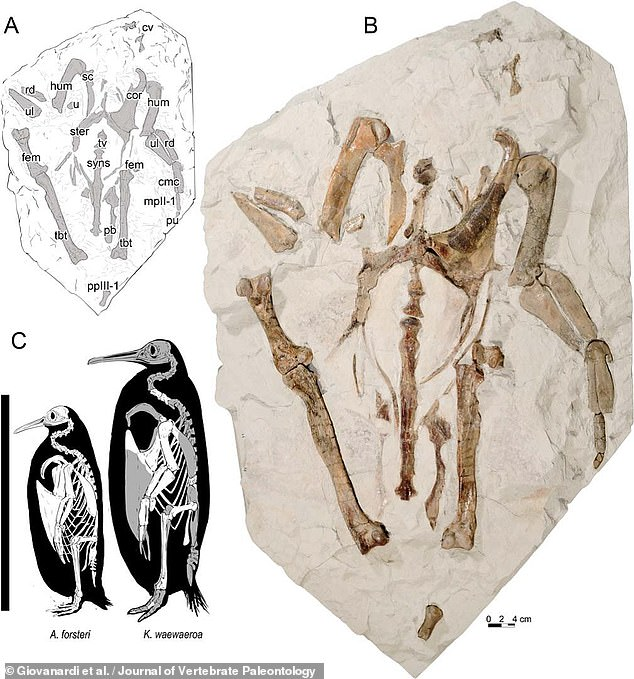 At the time K. waewaeroa was alive, during what geologists call the Oligocene epoch, much of the Waikato region of New Zealand would have been under water. Pictured: the fossilised remains ofK. waewaeroa (right, with an illustration top left) and a size comparison with a modern-day emperor penguin,Aptenodytes forsteri (bottom right)