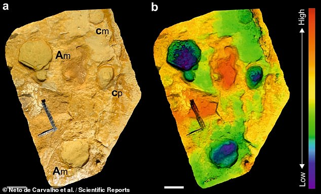 The other two set of prints — which were around 20 inches (50 cm) in length — more likely were made by adult males weighing in at some seven tonnes. Pictured: a photo of some of the tracks with adult and calf footprints next to each other (left) and in 3D scan (right)