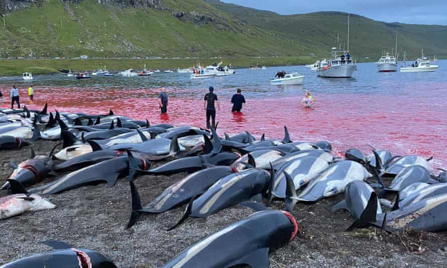 A picture released by Sea Shepherd of some of the white-sided dolphins slaughtered on Sunday.