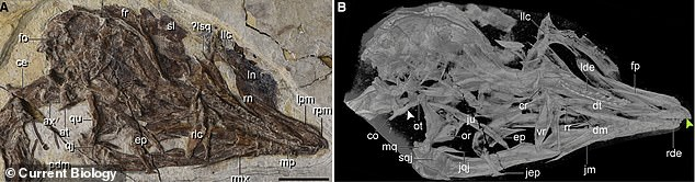 Cranial anatomy of the species.Y. kompsosoura belonged to an extinct group called the Enantiornithines, which looked like modern birds, except they had teeth and clawed fingers on each wing