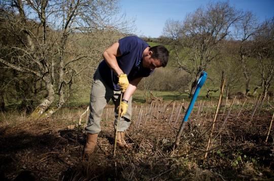 BPH3W8 Man planting trees, Devon UK