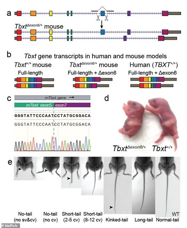 Thirty-one genes have been identified in various species for developing tails.The researchers then used genetically engineered mice to see if the TBXT mutation is responsible for the tail. Most of the embryos failed to develop the tail, but one grew a short tail