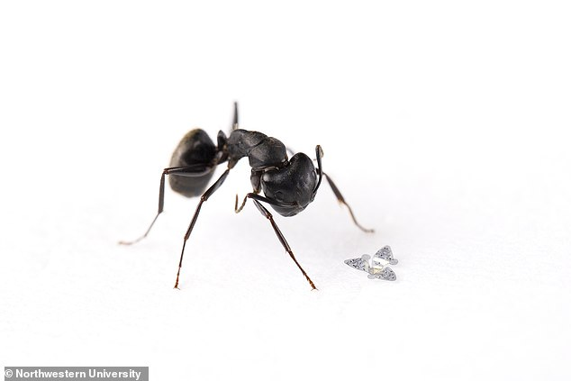 A 3D microflier sits next to a common ant to show scale.There is no motor involved, the tiny device works like the propeller seeds of a maple tree, but catching the wind to slow its fall, as it glides towards the ground